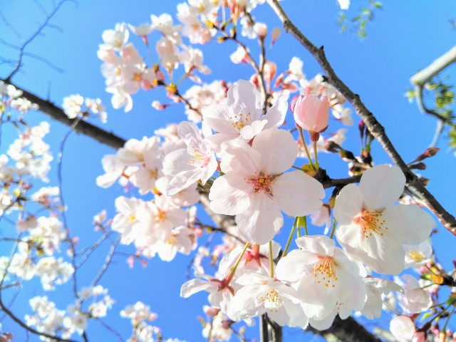 桜ソングで体と心の温度を上げる。